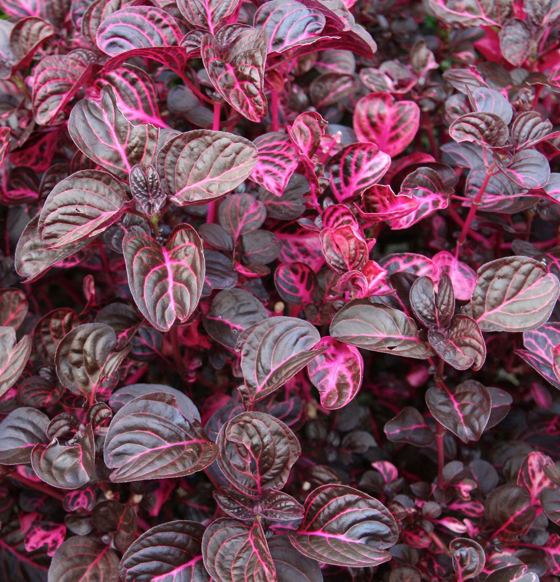 plantslive-Iresine herbstii aureoreticulata - Plant