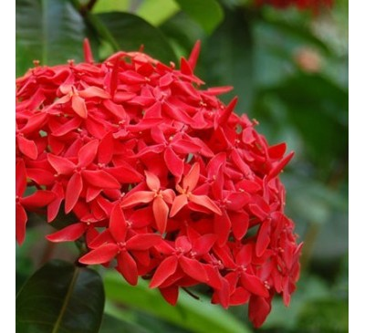 plantslive-Ixora Long, Singapuri Ixora (Red) - Plant