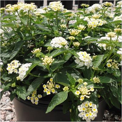 plantslive-Lantana-White