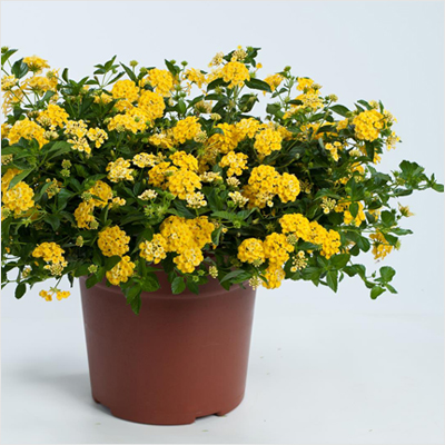 plantslive-Lantana-Yellow