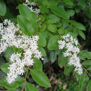 plantslive-Ligustrum lucidum variegatum - Plant