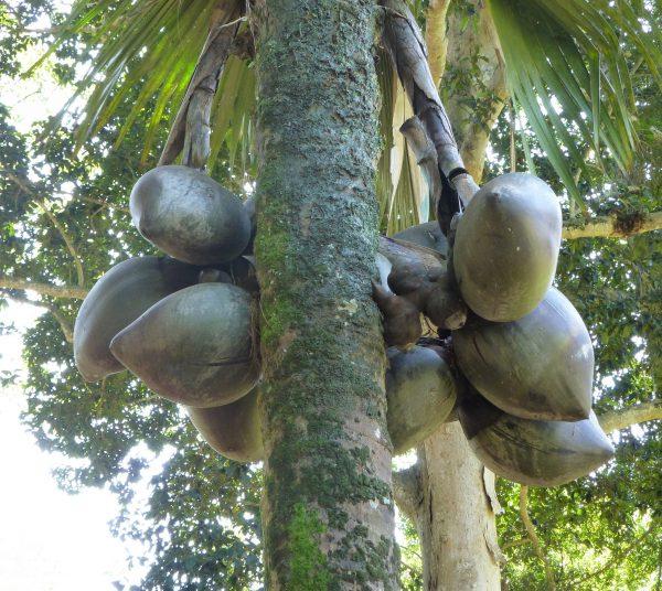 plantslive-Lodoicea maldivica - Plant