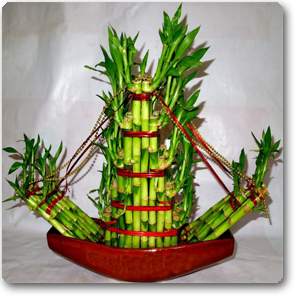 plantslive-Lucky Bamboo Boat - Plant