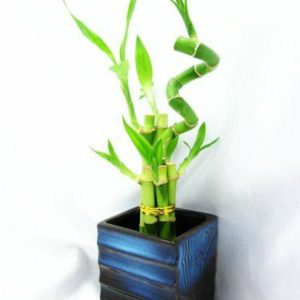 plantslive-Lucky Bamboo Dome Arrangement - Plant