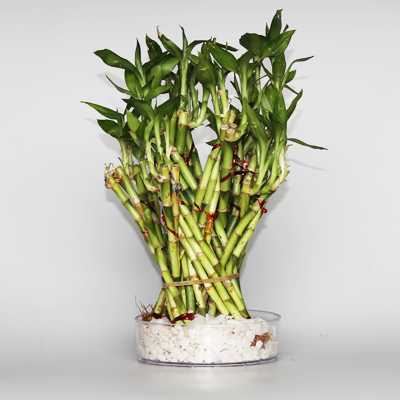 plantslive-Lucky Bamboo Dragon Tower Arrangement - Plant