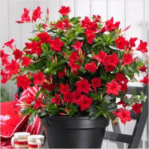plantslive-Mandevilla (Red) - Plant