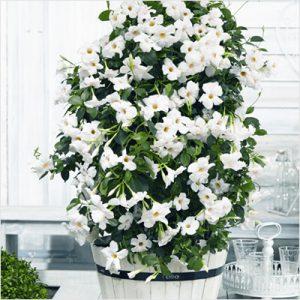 plantslive-Mandevilla (White) - Plant