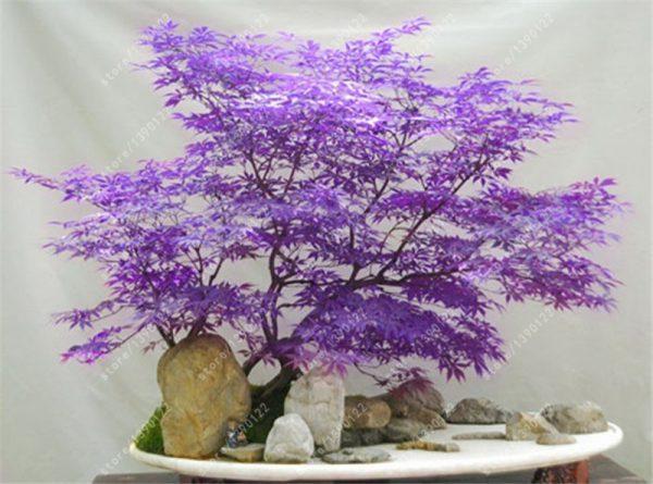 plantslive mapple cian