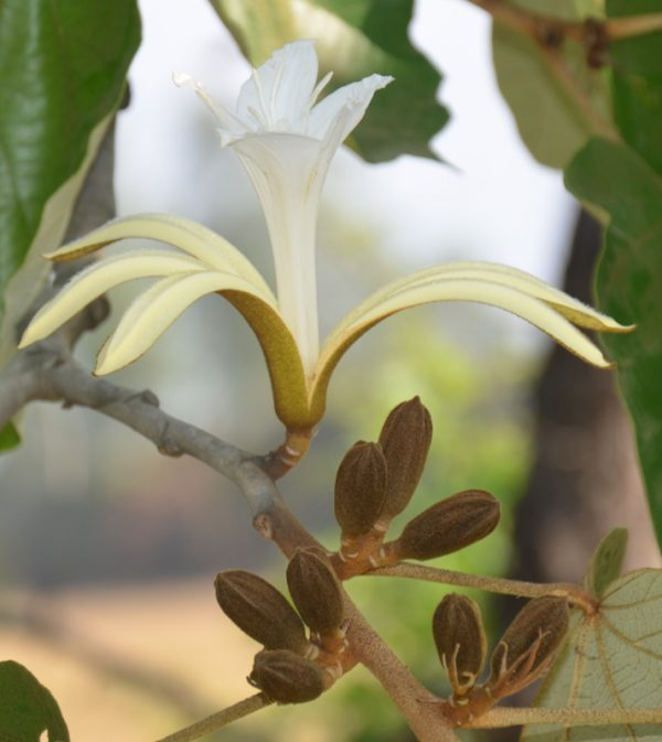 plantslive-Muchkund, Karnikar - Plant