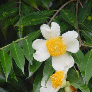plantslive-Nagkeshar, Mesua Ferrea - Plant