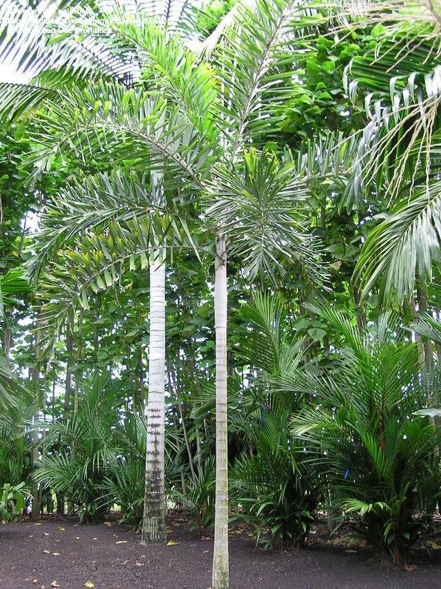 plantslive-Normanbya normanbyi - Plant