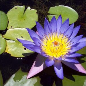 plantslive-nymphaea-caerulea-hybrid-lotus-blue