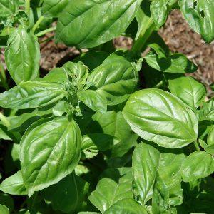 plantslive-Ociumum Basilicum Sabja - Plant