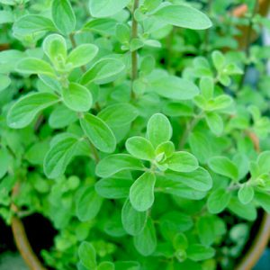 plantslive-Origanum Majorana, Marjoram, Marwa - Plant