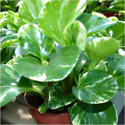 plantslive-peperomia-Obtusifolia