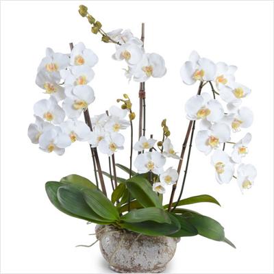 plantslive-Phalaenopsis-White