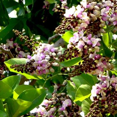 plantslive-Pongamia Pinnata, Karanj - Plant