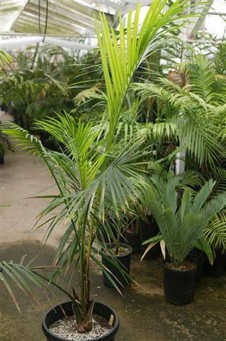 plantslive-Raphia australis - Plant