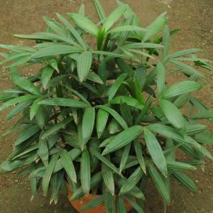 plantslive-Rhapis-Subtilis
