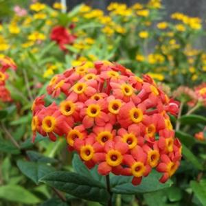 plantslive-Rondeletia Odorata, Fragrant Panama rose - Plant