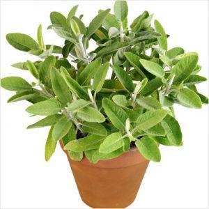 plantslive-Sage, Sefakuss - Plant