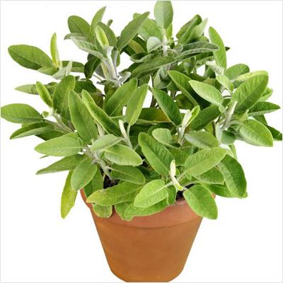 sage sefakuss plant plantslive buy plants online india. Black Bedroom Furniture Sets. Home Design Ideas