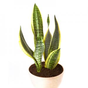 plantslive-Sansevieria Trifasciata Laurentii, Snake Plant
