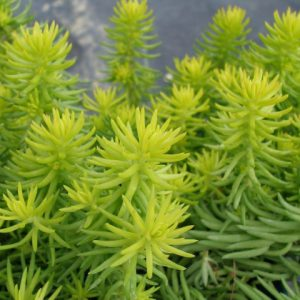 plantslive-Sedum Angelina - Plant