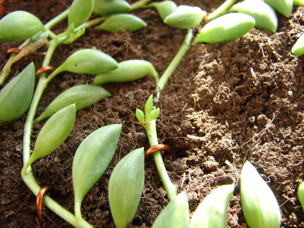 plantslive-Senecio Herreianus - Plant