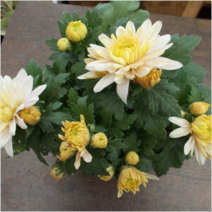 plantslive-Shevanti-white-yellow