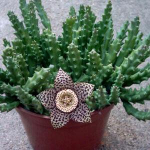 plantslive-Stapelia variegata - Plant