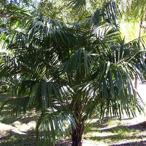 plantslive-Syagrus schizophylla - Plant