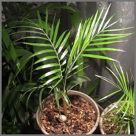 plantslive-Syagrus weddelliana: Cocos weddelliana - Plant