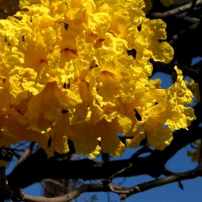 plantslive-Tabebuia argentea, Tecoma argentea - Plant
