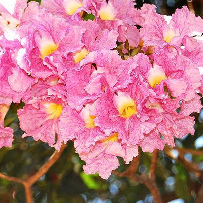 plantslive-Tabebuia Rosea, Savannah Oak - Plant