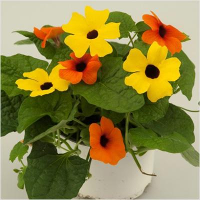 plantslive-thunbergia-Alata-Yellow-Plant