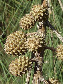 plantslive-Wind tree - Plant