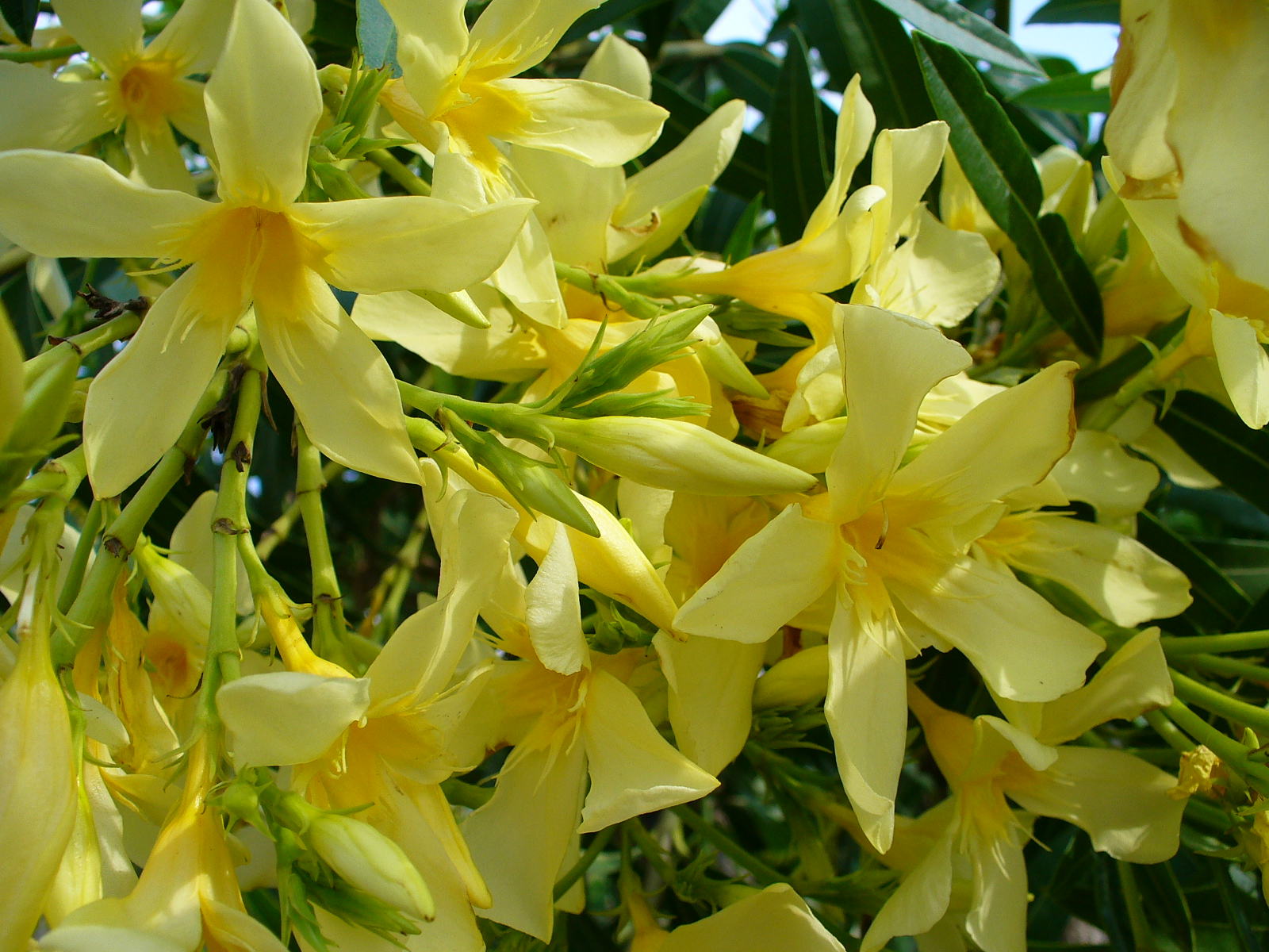 Kaner nerium oleander yellow double plant plantslive buy kaner nerium oleander yellow double plant plantslive buy plants online india mightylinksfo
