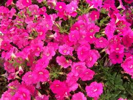 plantslive_petunia
