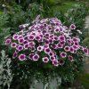 plantslive_petunia_purple