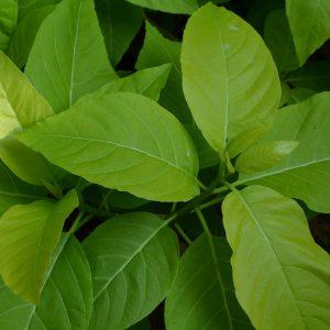 plantslive_pisonia_alba
