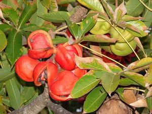 plantslive_Sterculia_foetida-jungle-badam