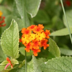Buy Plants Online India Lantana Variegated Red Plant Buy