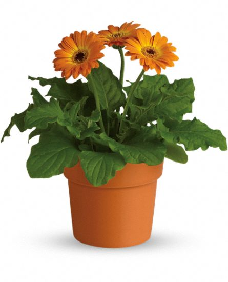 gerbera plant buy plants online india. Black Bedroom Furniture Sets. Home Design Ideas