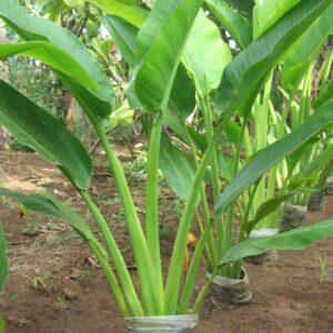 plantslive-TRAVELLERS-PALM-Ravenala-madagascariensis
