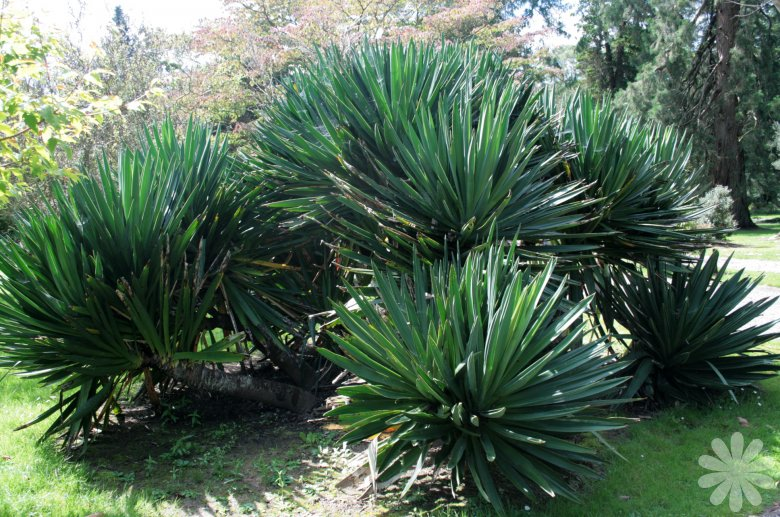 Yucca plant buy plants online india for Plantes on line