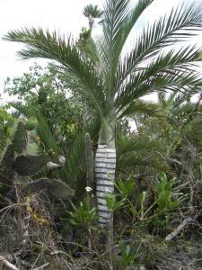 planslive-buy-plantslive-Pseudophoenix ekmanii - Plant