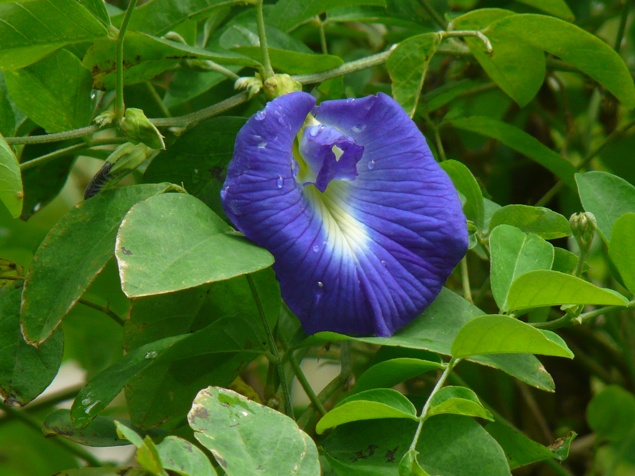 Clitoria Ternatea, Gokarna (Blue) – Plant – Buy Plants ...