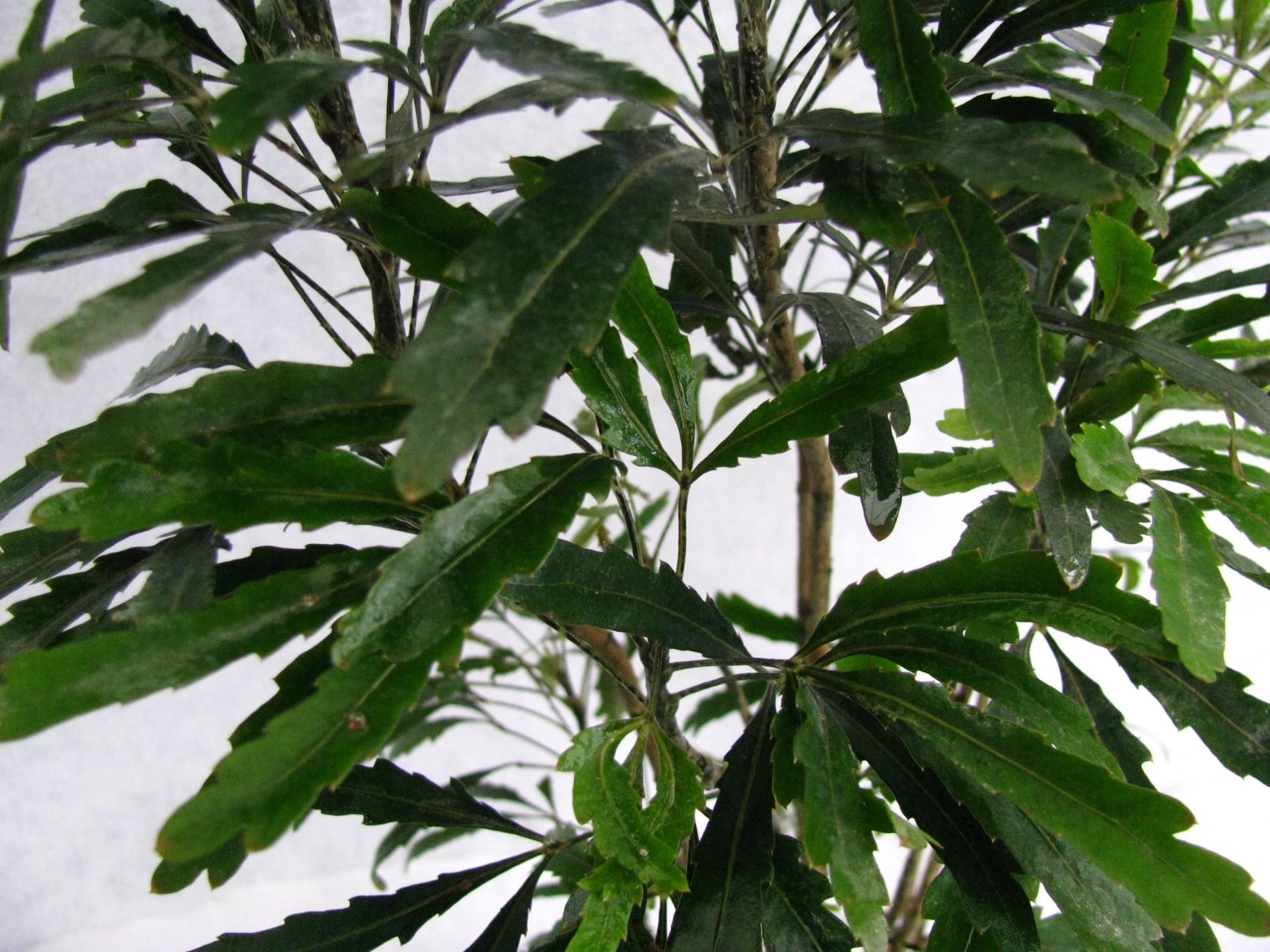 Buy arelia black plant online plantslive buy plants for Buy plans online