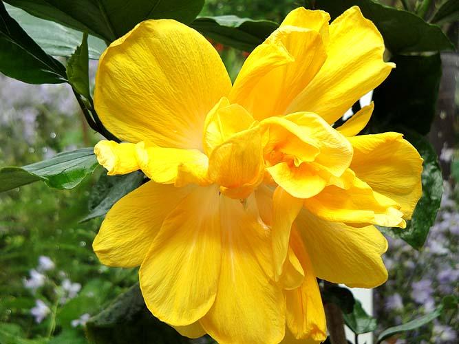 Dwarf Hibiscus Flower All Colors Plant Plantslive Buy Plants